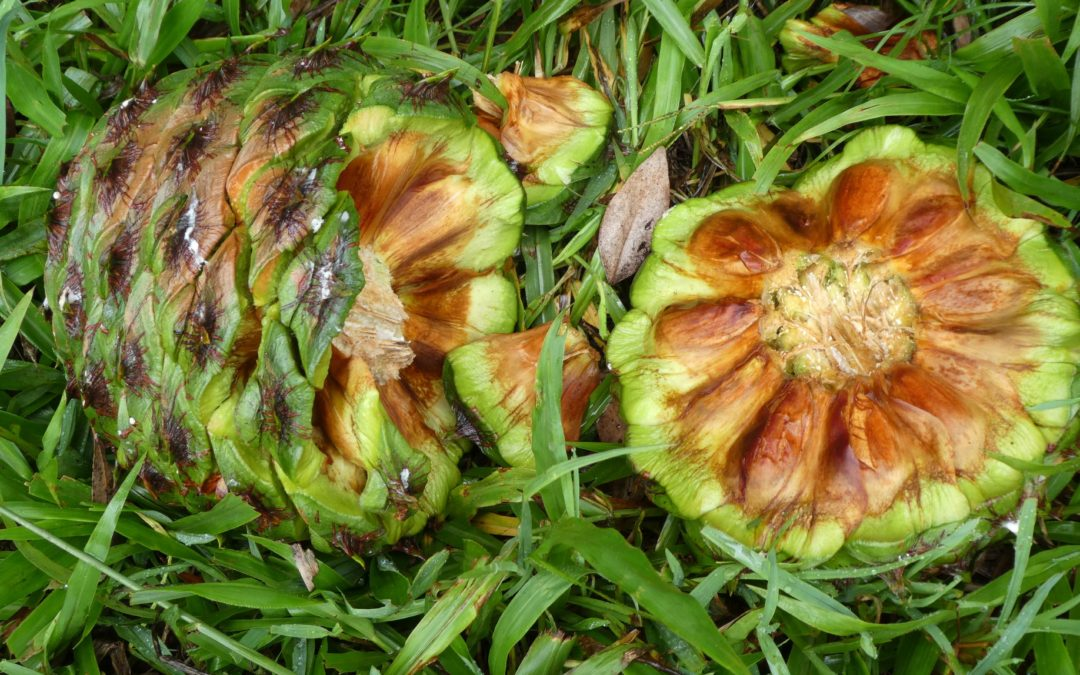 Australia's very special Bunya Pine