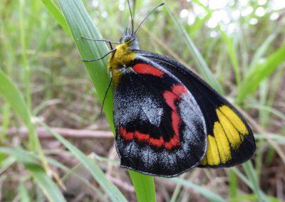 Black Jezebel Butterfly