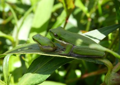 Eastern sedge frog 2017 (1)