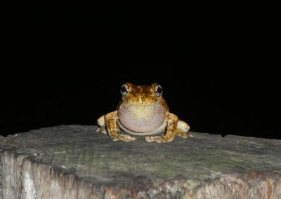 Emeral Spotted Tree Frog on post