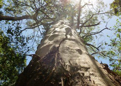 Eucalyptus grandis - Flooded gum