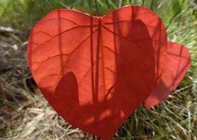 Homalanthus populifolius - Bleeding heart