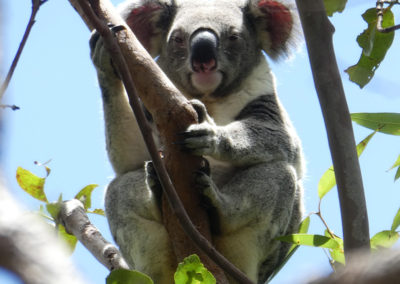The Koala from Mt Ninderry