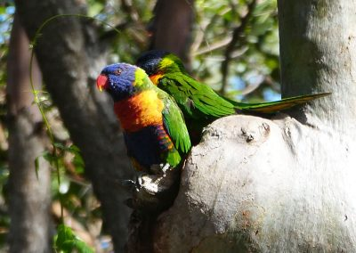 land for wildlife lorikeet