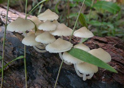 queensland fungi